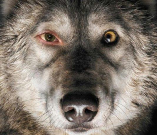 Imagem do filme rastros, ou Spoor, parte do Festival do Rio de 2017. A imagem mostra o rosto de um lobo, e um de seus olhos é humano.